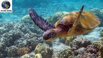 caretta caretta kaplumbağaları izle