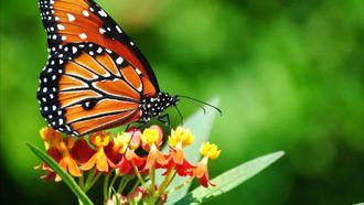 OKUL ÖNCESİ bir minicik kelebek rondu izle