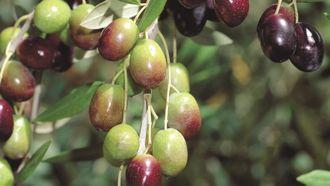 Dikili'de zeytinin yolculuğu izle