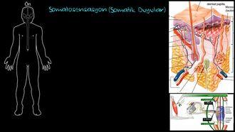 Periferik Somatosensasyon (Somatik Duyular) izle