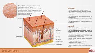 İnsan derisinin yapısı ve özelliklerini anlatan infografik çalışması.