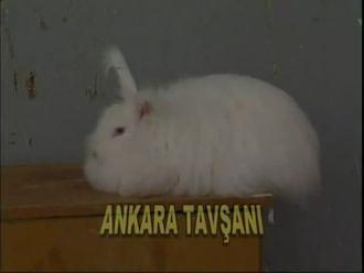 Ankara Tavşanı izle