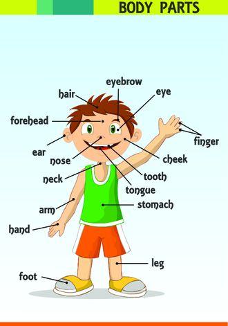 Bu infografikte body parts - vücudun bölümleri hakkında bilgi verilmiştir.