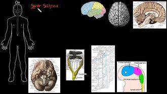 Sinir Sisteminin Yapısı izle
