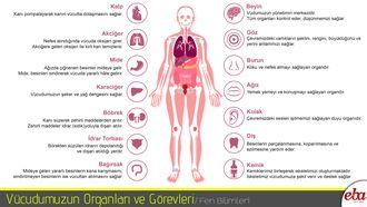 Vücudumuzda bulunan organların temel görevlerini anlatan infografik çalışması