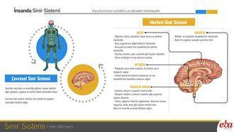 İnsan vücudunda bulunan sinir sisteminin yapı ve organlarını anlatan İnfografik çalışması.