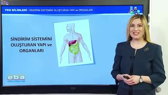Sindirim Sistemini Oluşturan Yapı ve Organlar izle