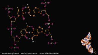 RNA'nın Moleküler Yapısı izle