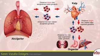 Kanın insan vücudunda dolaşımını anlatan infografik çalışması