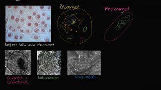 Prokaryot ve Ökaryot Hücreler izle